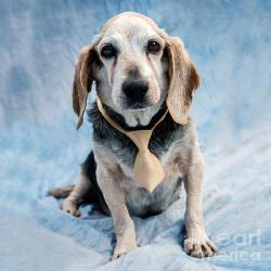 Kippy Beagle Senior - Fine Art