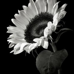 Sunflower In Black - Fine Art